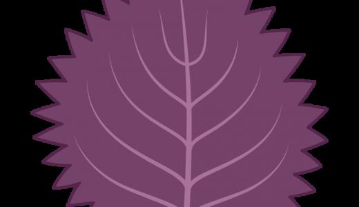 赤紫蘇の簡単な育て方と栽培時期は?水のやり方や適した環境は?